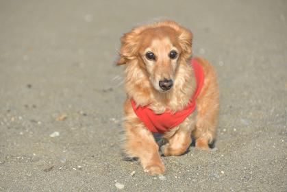 砂浜で散歩する犬