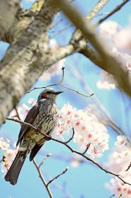 ヒヨドリと桜の花