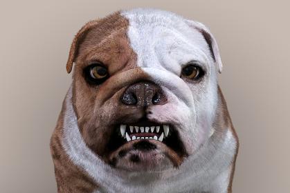 正面を向いた怒った顔のブルドッグ
