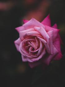 雨後の柔らかい光の日の赤いバラ