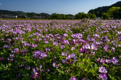 レンゲの花咲く明日香村