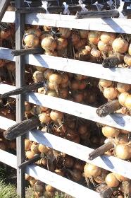 収穫して吊り下げた玉葱