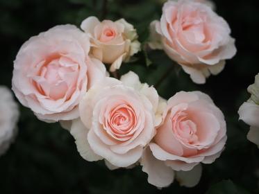 可憐な薄いピンクの薔薇