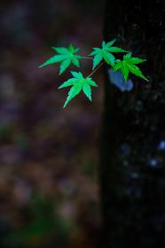 雨に濡れる新緑の葉