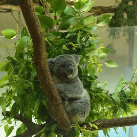 ユーカリの葉に囲まれて幸せそうなコアラ
