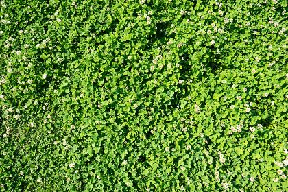 クローバー・芝生(植物のイメージ素材)