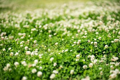 芝生に咲く白い花