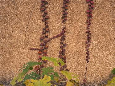 建物の外壁と紅葉した蔦