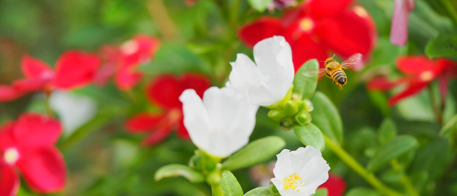 白い小さい花ハナスベリヒユとミツバチ