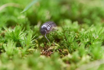 苔の上を散歩するオカダンゴムシ