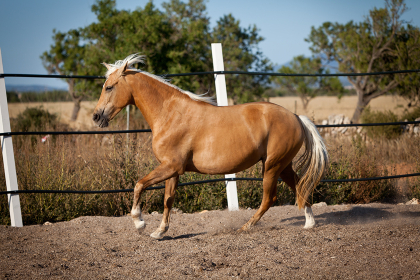 brown french trotter horse portrait outdoors