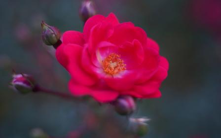 赤色の姫バラ