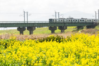 遠賀川河川敷の菜の花とJR筑豊本線 福岡県飯塚市