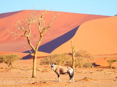 ナミビアのナミブ砂漠のオリックス