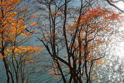 水面のキラキラと紅葉 (群馬県赤城山小沼)(秋/紅葉)