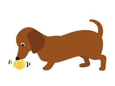 ボール遊びをする犬 ダックスフンド
