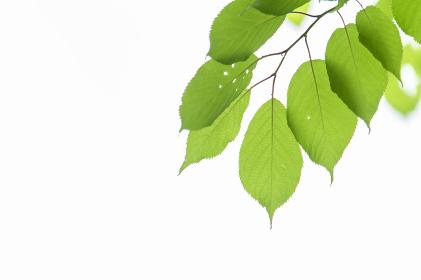 白背景に新緑の若葉。エコイメージ。