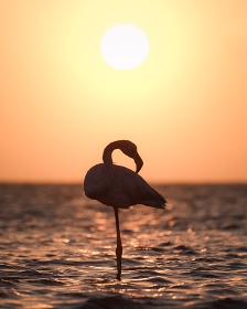 Silhouette of a flamingo in a lake in Africa