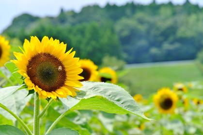 鹿児島市都市農業センターの向日葵にとまるミツバチ