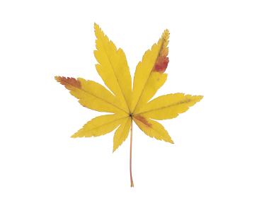 黄葉したカエデの葉