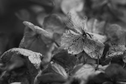枯れたアジサイの花 モノクローム写真