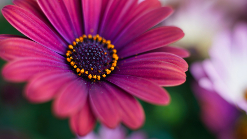 赤紫色の花、オステオスペルマム(アフリカキンセンカ、アフリカンデージー)