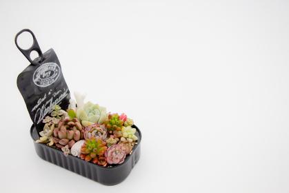 白背景と手作りのリメイク缶に植えられた多肉植物