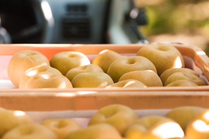 梨の収穫、8月・千葉県、日本