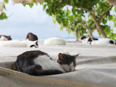 昼下がりの竹富島の海辺で昼寝をする猫たち
