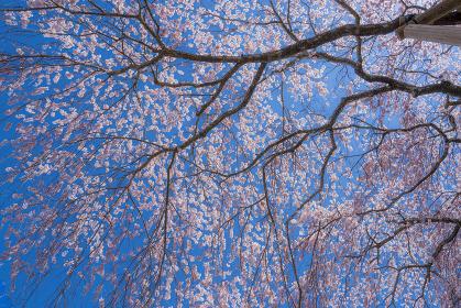 長野県飯田市 旧山本中学校杵原校舎の枝垂れ桜
