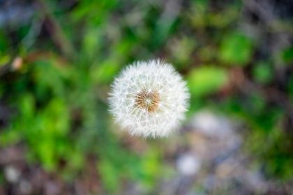 タンポポの種子(真上から撮影)