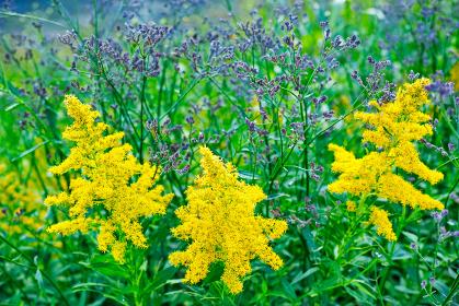 黄色いセイタカアワダチソウが咲く草むら