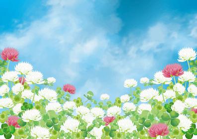 シロツメクサ:シロツメクサ 春 春の花 草原 自然 花 4月 群生 晴天 青空 満開 シャボン玉