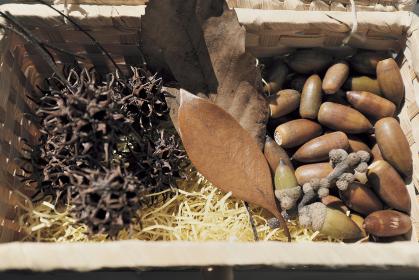 もみの実と落ち葉とドングリ