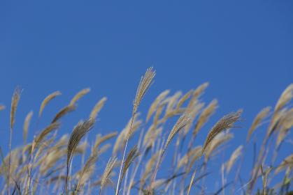 ススキが揺れる、平尾台の秋
