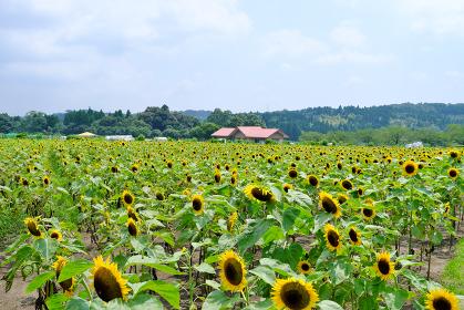 鹿児島市都市農業センターの美しいひまわり畑の風景