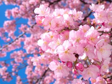 青空とサクラの花