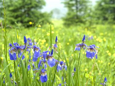 湿原の夏を彩るヒオウギアヤメ。毎年同じ場所に、同じような表情で開花する。