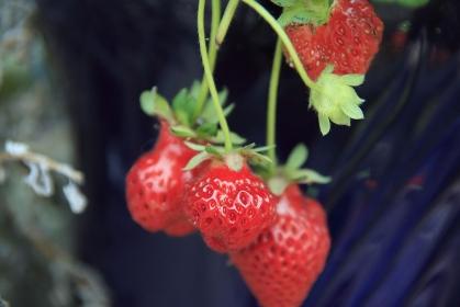 イチゴ、家庭菜園