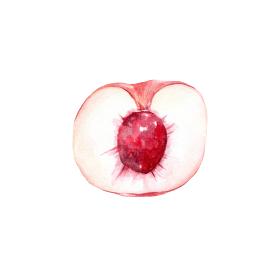 桃の断面 水彩イラスト