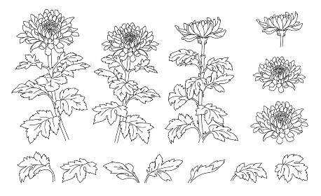 手描きの菊の花のイラスト(線画)