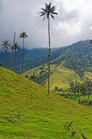 cocora valley,quindío,colombia