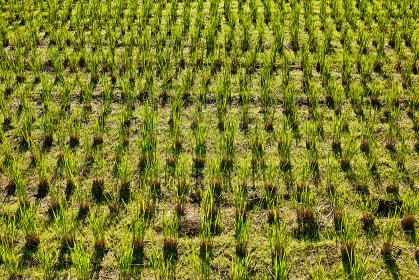 刈った稲の株から葉が再生している田んぼの風景