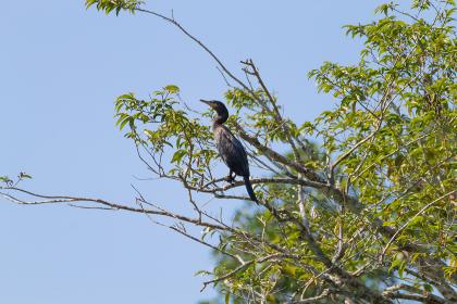 Neotropic cormorant on the nature in Pantanal, Brazil