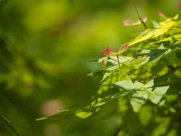 5月の光に輝く新緑のもみじの葉 5月