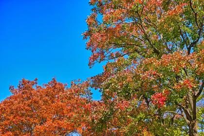 青空背景の右半分に美しく紅葉したナンキンハゼの木と左下にケヤキの紅葉
