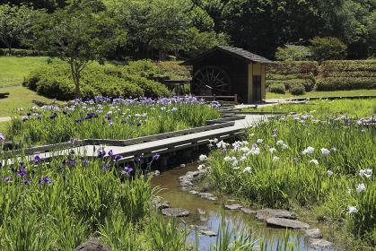 大和民俗公園花菖蒲園