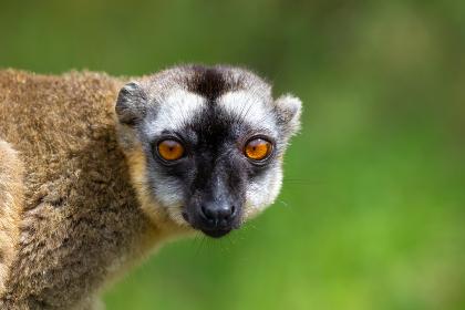 Portrait of a brown maki, a close up of a funny lemur , Antananarivo, Antananarivo Province, Madagascar
