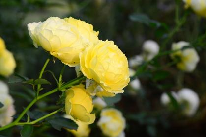 黄色のバラは金運アップ!