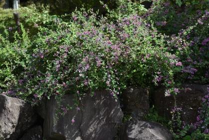 秋の七草・ハギの花